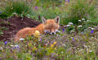 Napping Aleutian Red Fox