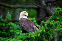 Bald Eagle perched, looking for salmon