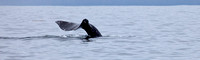 Humpback Whale Tail - Sitka