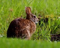 Cotton Tail wild Rabbit